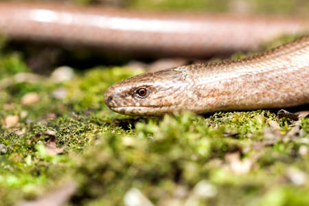 Slow worm (Anguis colchica) from Czech Republic.