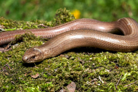 anguis: Slow worm (Anguis colchica) from Czech Republic.