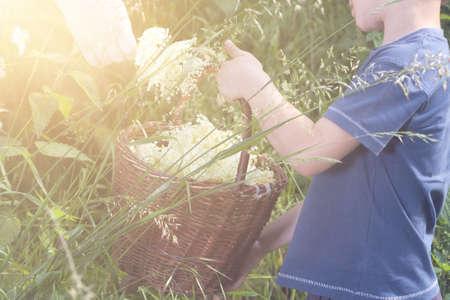 Czech Republic - collecting elder blossom flower - boy with full herbs flower basket