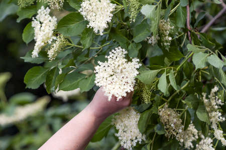 ?esk? republika - sb?r?n? elder blossom flower  -detail women hand with flower Stock Photo