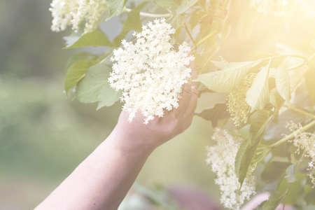 Czech Republic - collecting elder blossom flower