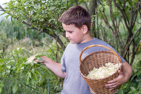 Czech Republic - collecting elder blossom flower - boy with full herbs flower basket photo
