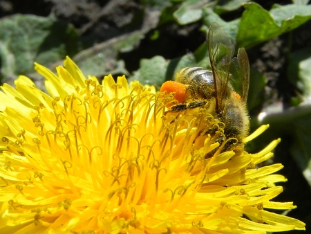 honey bee on a yellow flower collecting pollen photo
