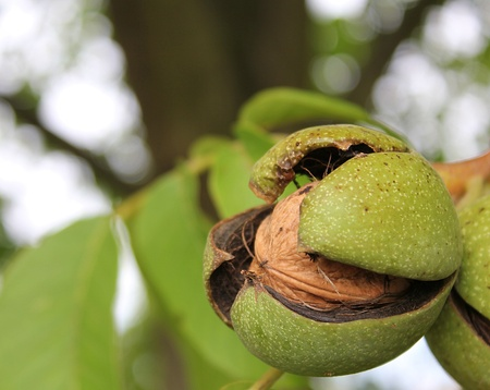 a closeup shot of a ripe walnut on tree photo