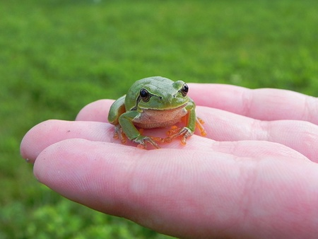 a green tree frog sitting on human fingers