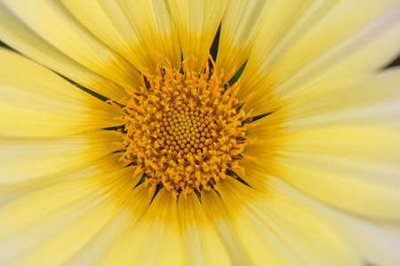 a closeup shot of a white and yellow daisy flower photo