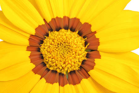 a closeup shot of a yellow and brown daisy flower isolated on white background photo