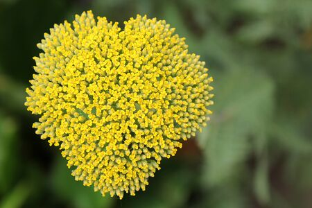 heart shape formed by a gold yarrow photo