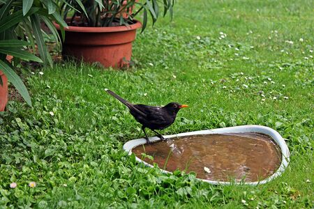 male blackbird (Turdus merula) perched on and drinking from bird bath photo