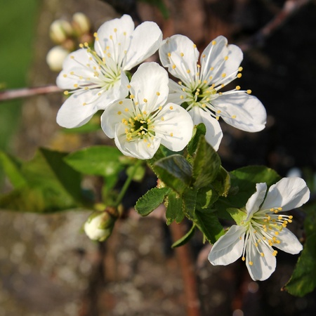 sour grass: white sour cherry flowers in front of a sour cherry tree beautiful spring background