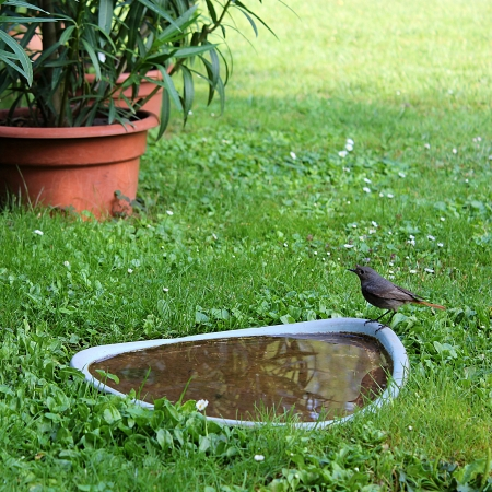 black redstart  Phoenicurus ochruros  bird standing at the water in the garden photo