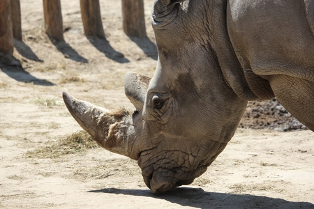 animal shot: closeup shot of a white background animal rhinoceros head Stock Photo