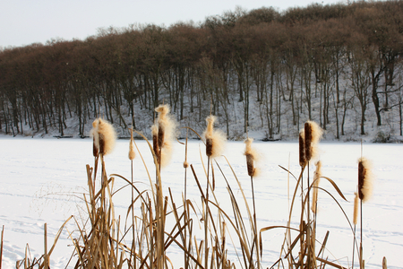 bulrush: Winter lake and forest in the foreground with bulrush Stock Photo