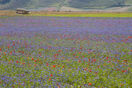 Pian Grande full of flowers at Castelluccio di Norcia. Stockfoto
