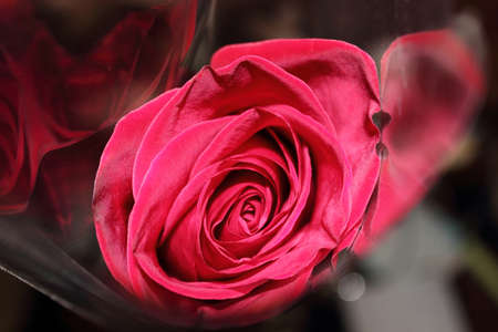 red rose in a package on a black background photo