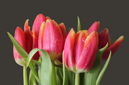 wet isolated red-yellow tulips photo