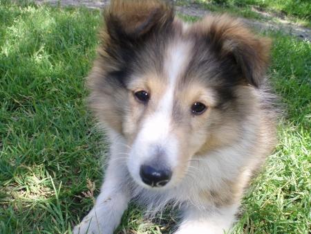 sheltie: Sheltie puppy