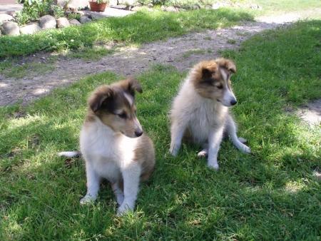 sheltie: Sheltie puppies watching Stock Photo