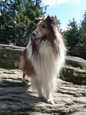 sheltie: Sheltie Sequin on the Rock