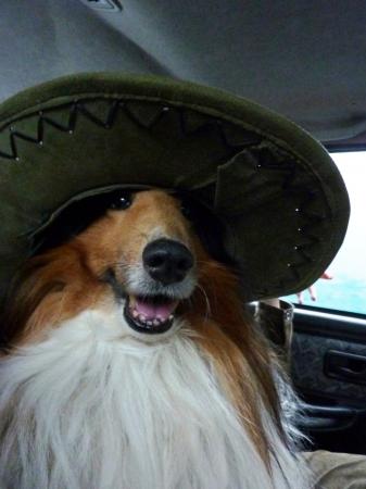 sheltie: Sheltie Sequin in the hat Stock Photo