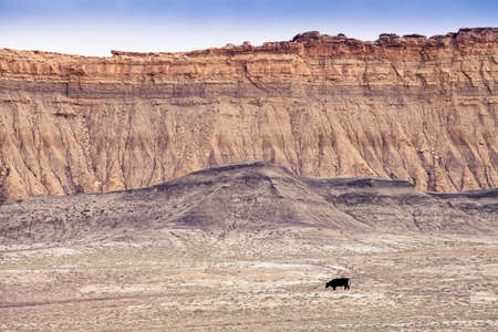 a grazing cow on a plateau in Utah and in the background cliffs and desert mountains