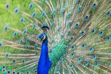 Beautiful peacock tail photo