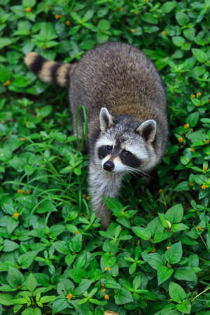 The raccoon play in the grass background photo