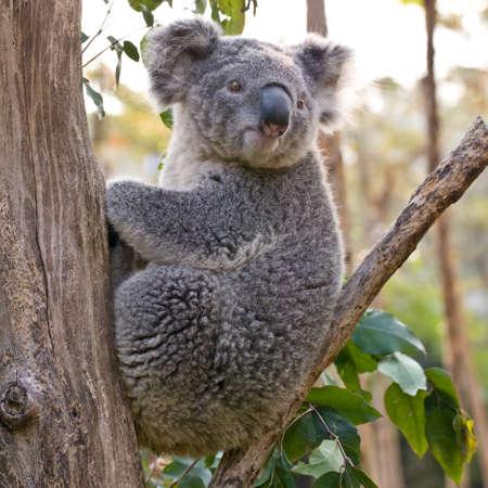 coala: Australiano del oso de koala agarr�ndose un tronco de �rbol