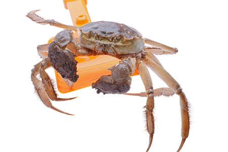 Hairy crabs on the shovel isolated in white background photo