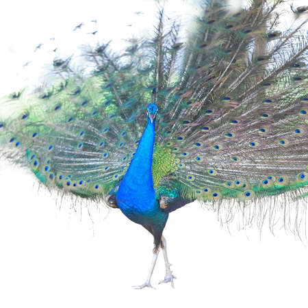 Beautiful Male Indian Peacock Isolated On White Background. photo