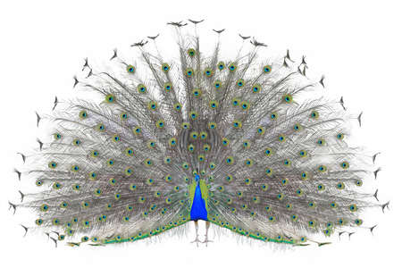 exhibiting: Beautiful Male Indian Peacock displaying tail feathers Isolated On White Background, front view.