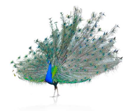 Peacock indiano maschio bello isolato su sfondo bianco.