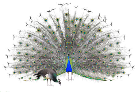 peacock wheel: Beautiful male Indian peacock displaying tail feathers isolated on white background, front view.