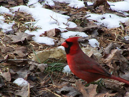 Northern Cardinal In Winter Stock Photo - 8612050