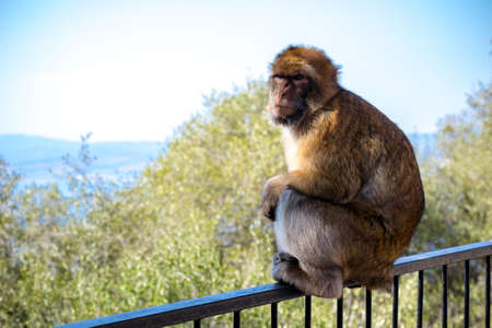 The famous apes of Gibraltar, located in the upper Rock nature reserve . Gibraltar is a British Overseas Territory located on the southern tip of Spain. 版權商用圖片