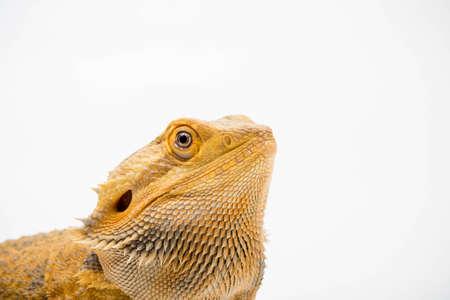 A Bearded Dragon (Pogona vitticeps) isolated on a white background