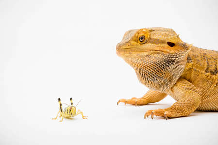 A Bearded Dragon (Pogona vitticeps) isolated on a white background about to eat a locust