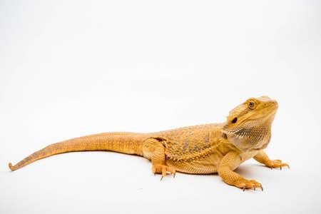 A Bearded Dragon (Pogona vitticeps) isolated on a white background Stock Photo