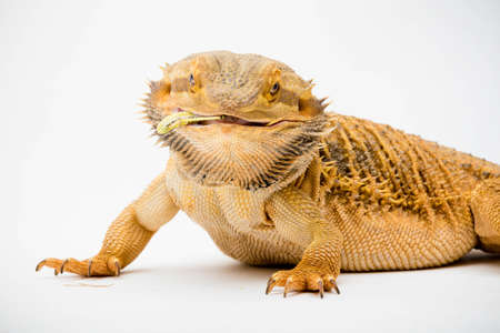 A Bearded Dragon (Pogona vitticeps) isolated on a white background eating a  locust