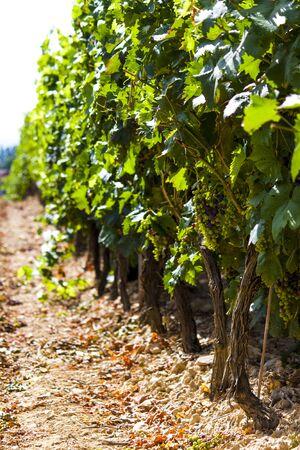 スペインのラ ・ リオハ州の夏のブドウ畑のクローズ アップ 写真素材