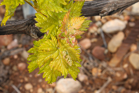 春にはスペイン、ラ ・ リオハ州でブドウ畑のクローズ アップ 写真素材