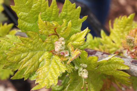 rioja: close up of vineyards in spring in La Rioja in Spain