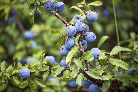 blackthorn or sloe berries of on unfocused background 免版税图像