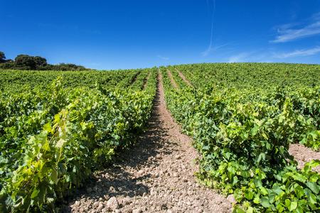 in summer Vineyards in La Rioja in Spain