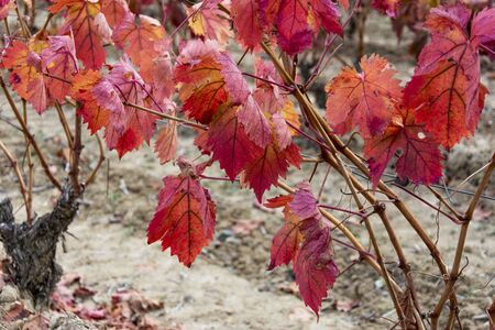 close up of vineyards in autumn in La Rioja in Spain