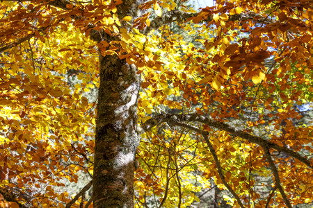 beech tree in the autumn season in a forest of spain