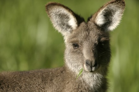 A young kangaroo with a mouth full of grass