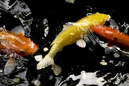 Colorful koi feeding at the waters surface Stock Photo - 4545809
