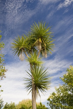 cordyline: A very large cabbage tree in New Zealand