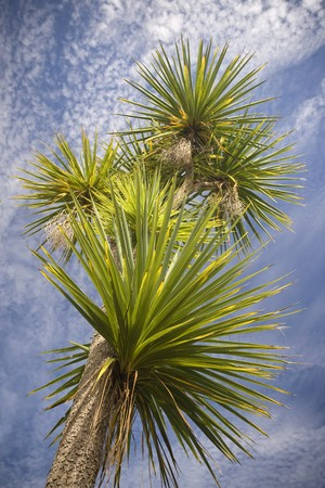 A very large cabbage tree in New Zealand
